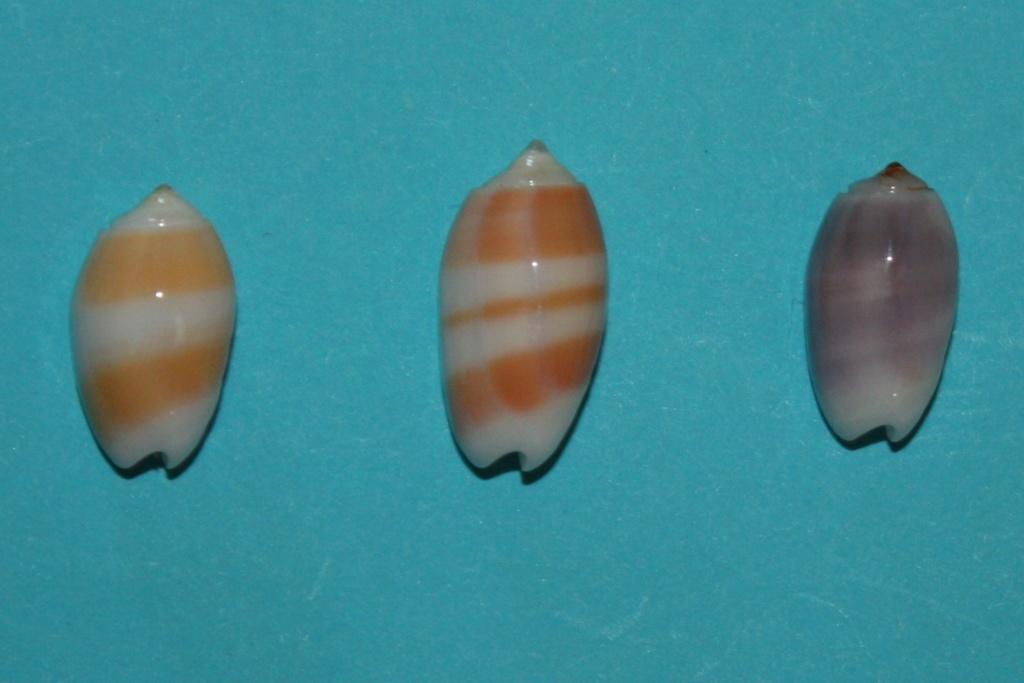 Galeola carneola f. violacea (Prior, 1975) voir Galeola carneola (Gmelin, 1791) Img_0018