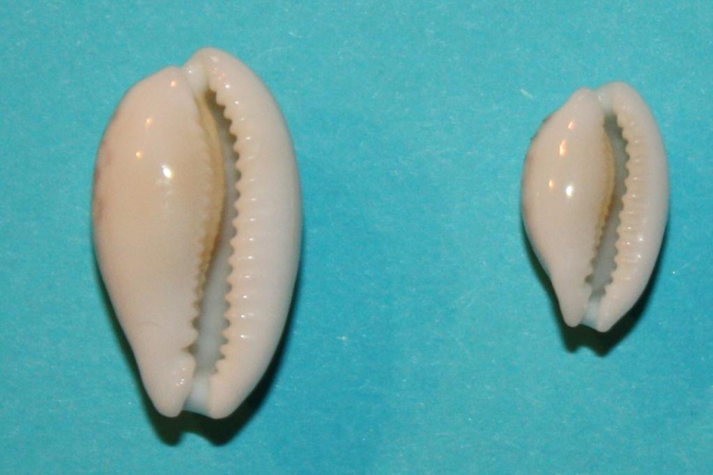 Cribrarula cribraria ganteri - Lorenz, 1997 - Page 2 Img_0110