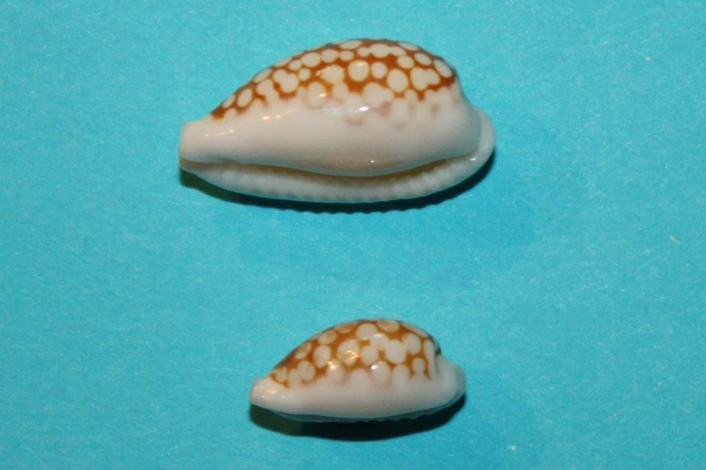 Cribrarula cribraria ganteri - Lorenz, 1997 - Page 2 Img_0112