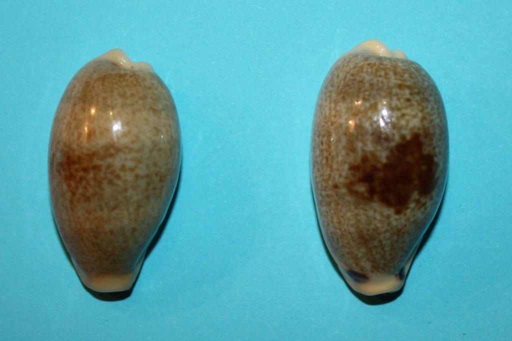 Erronea errones caerulescens - (Schröter, 1804) Img_0210