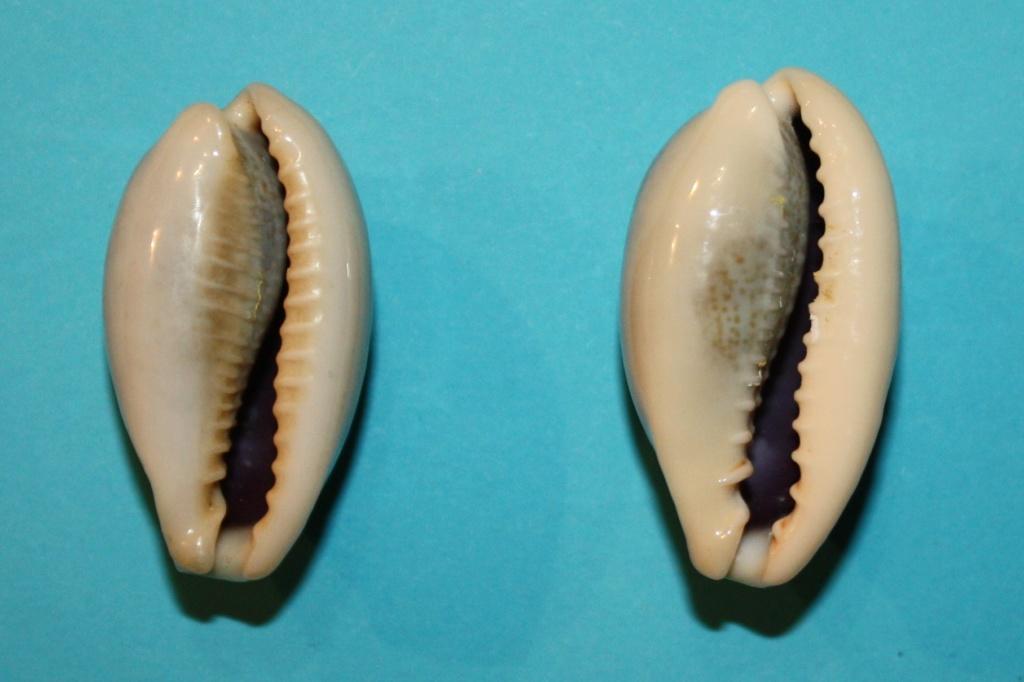 Erronea errones caerulescens - (Schröter, 1804) Img_0211