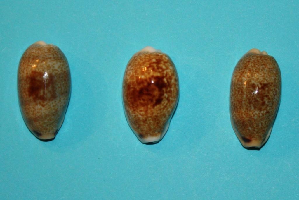 Erronea errones caerulescens - (Schröter, 1804) Img_0213