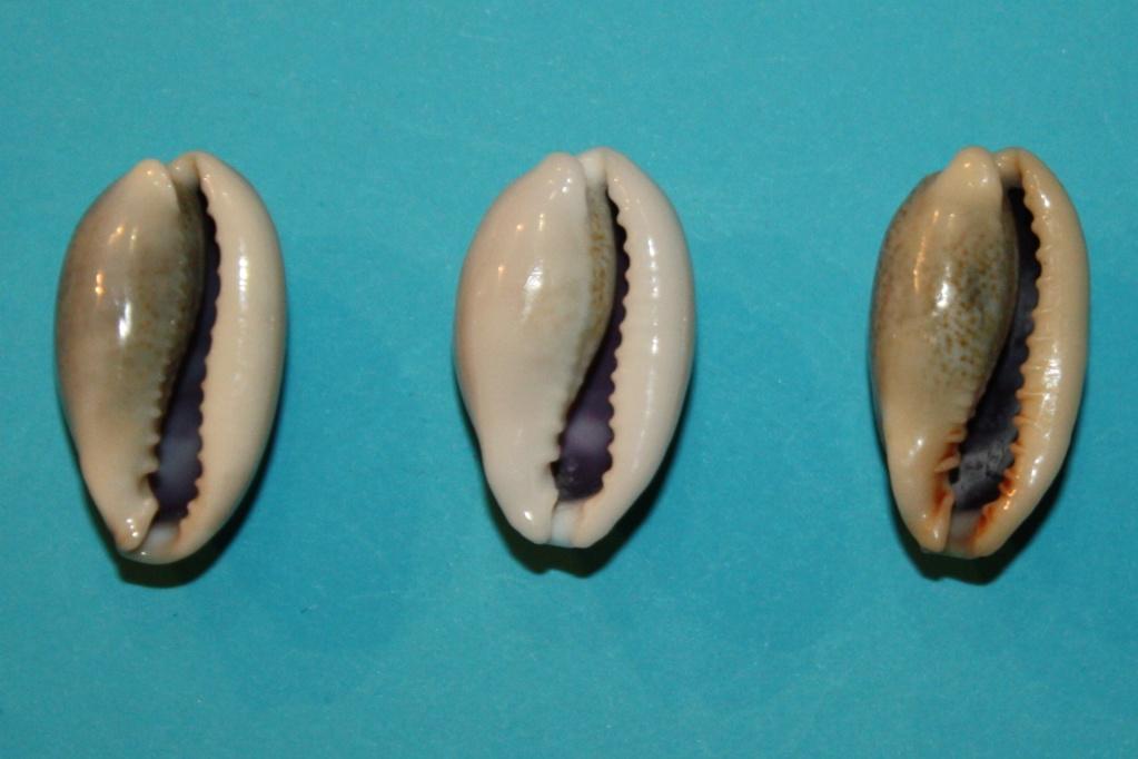 Erronea errones caerulescens - (Schröter, 1804) Img_0214