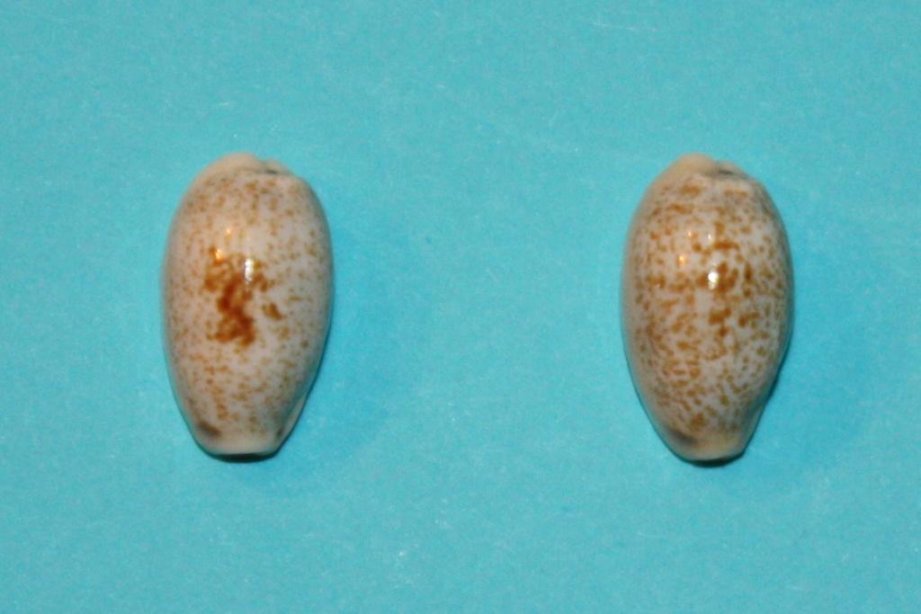 Erronea errones - (Linnaeus, 1758) - Forme d'Afrique Orientale Img_0215