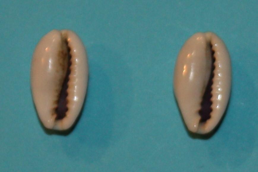 Erronea errones - (Linnaeus, 1758) - Forme d'Afrique Orientale Img_0216