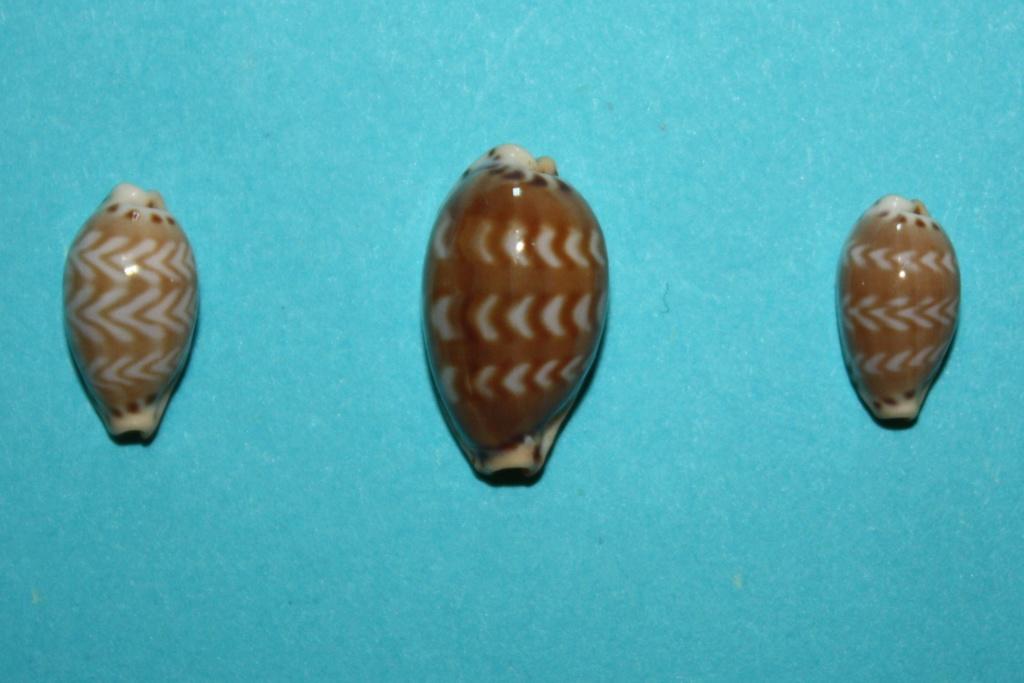 Palmadusta ziczac vittata - (Deshayes, 1831) Img_0312