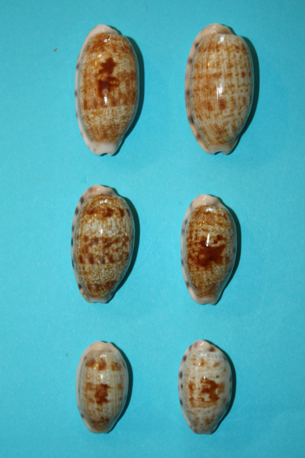Talostolida pellucens pellucens - (Melvill, 1888) & Talostolida teres teres (Gmelin, 1791) Img_0328