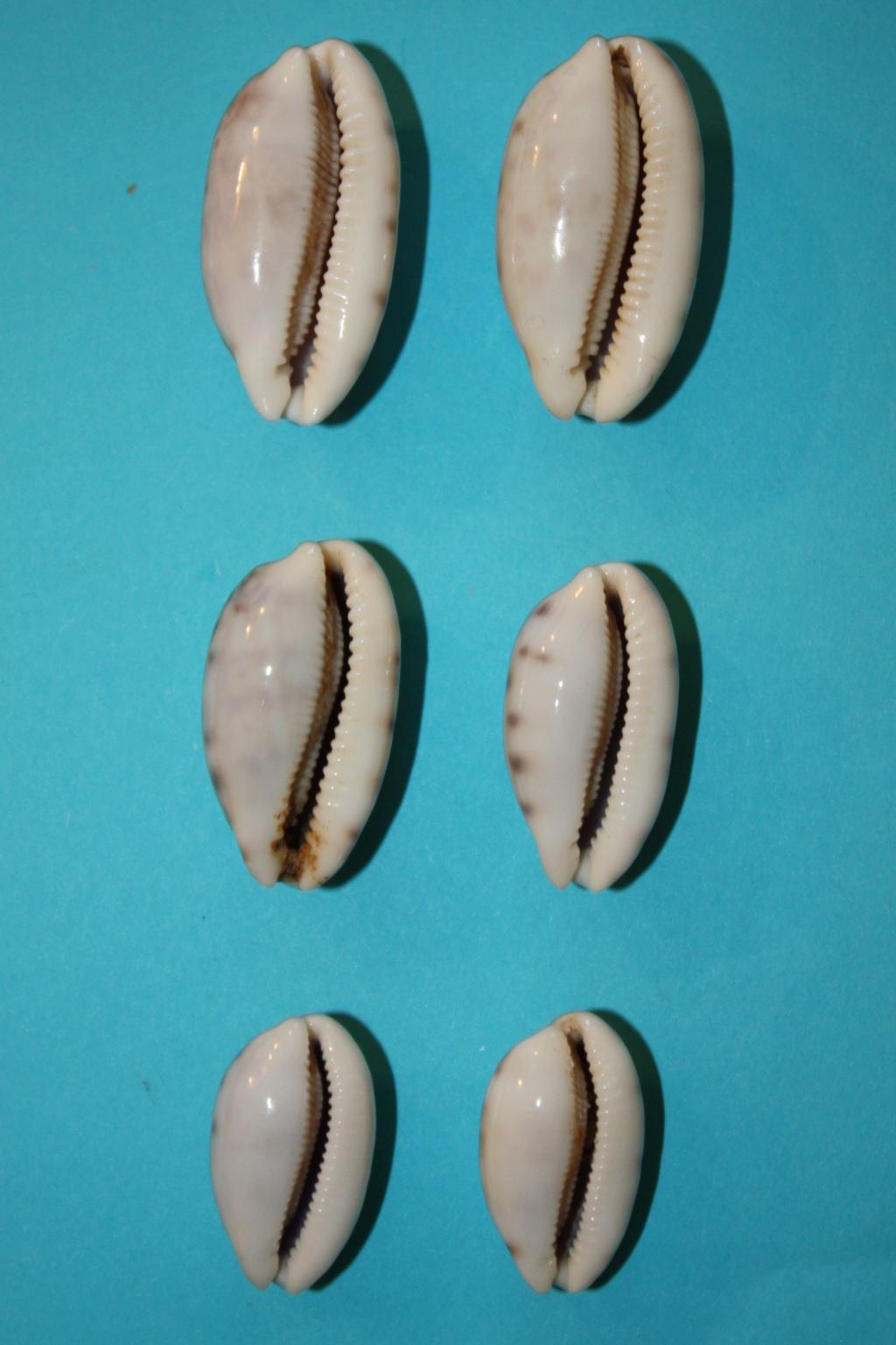 Talostolida pellucens pellucens - (Melvill, 1888) & Talostolida teres teres (Gmelin, 1791) Img_0329