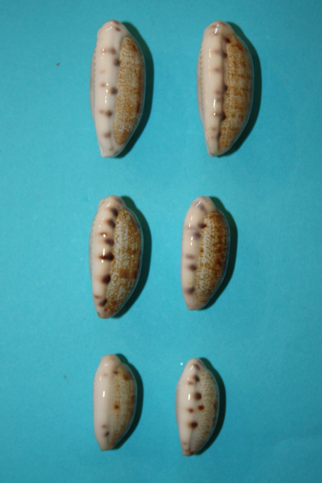 Talostolida pellucens pellucens - (Melvill, 1888) & Talostolida teres teres (Gmelin, 1791) Img_0330