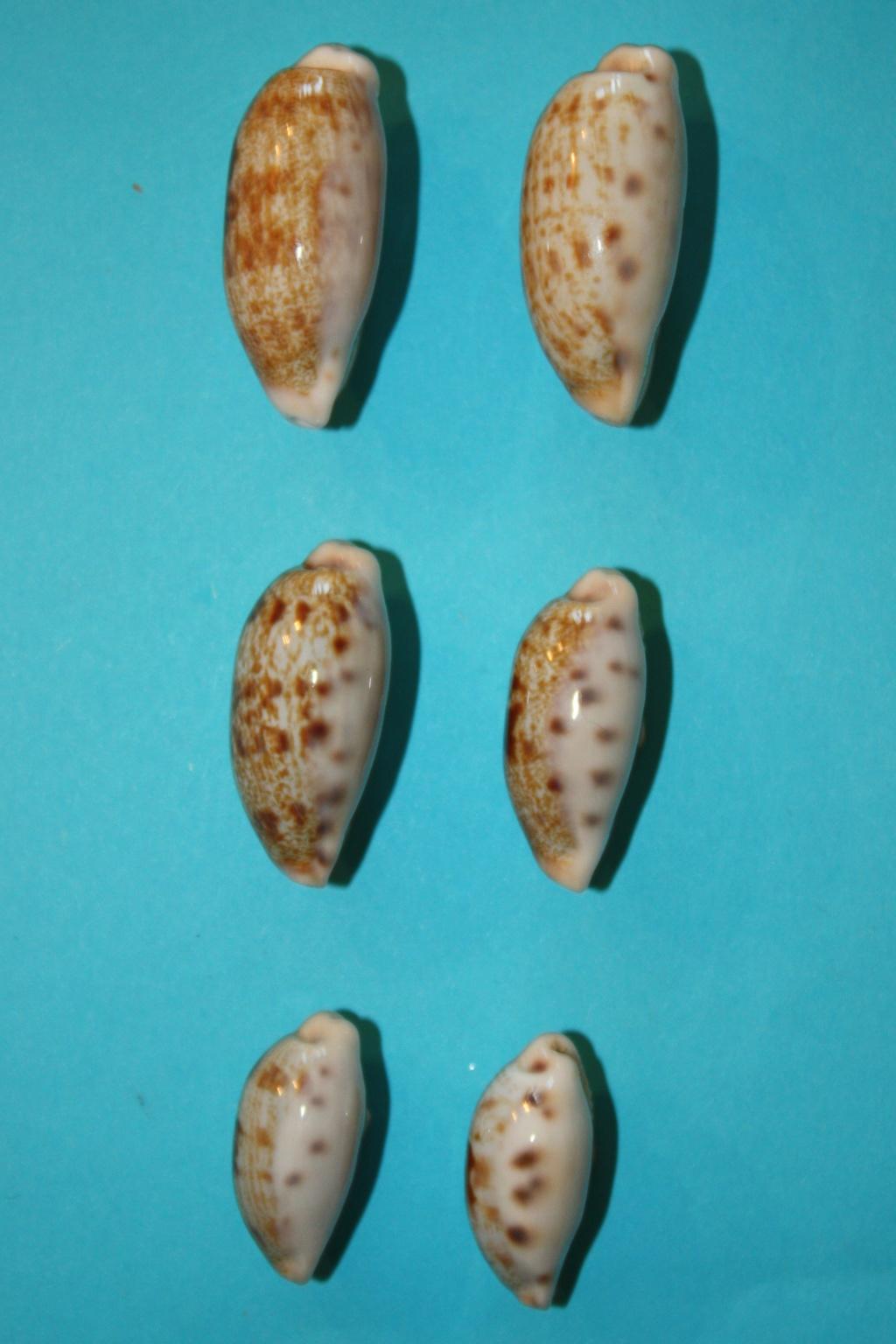 Talostolida pellucens pellucens - (Melvill, 1888) & Talostolida teres teres (Gmelin, 1791) Img_0331