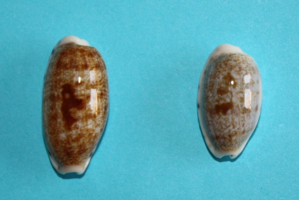 Talostolida pellucens pellucens - (Melvill, 1888) & Talostolida teres teres (Gmelin, 1791) Img_0343