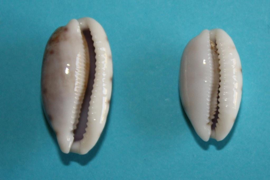 Talostolida pellucens pellucens - (Melvill, 1888) & Talostolida teres teres (Gmelin, 1791) Img_0344