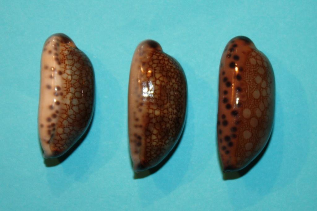 Mauritia eglantina - (Duclos, 1833) - Page 3 Img_0350