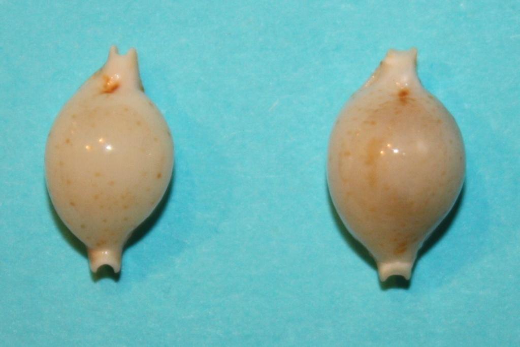 Pustularia cicercula tuamotensis - Lorenz, 1999 Img_0412