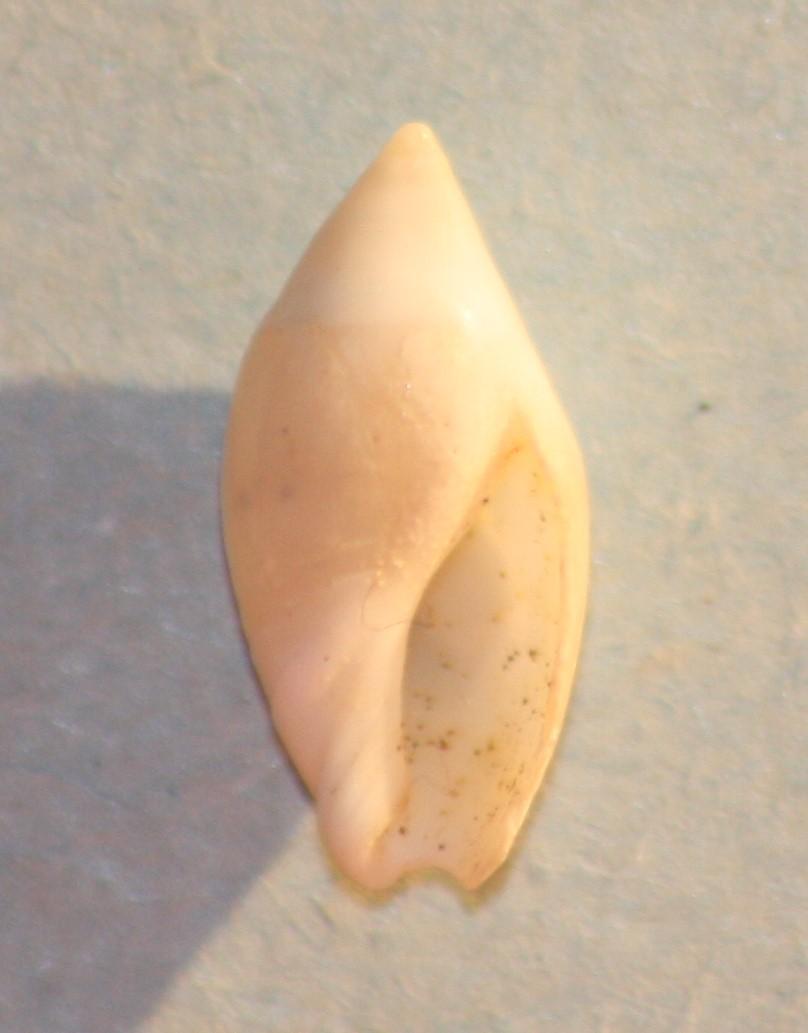 Amalda novaezelandiae (Sowerby II,1859) Img_0818