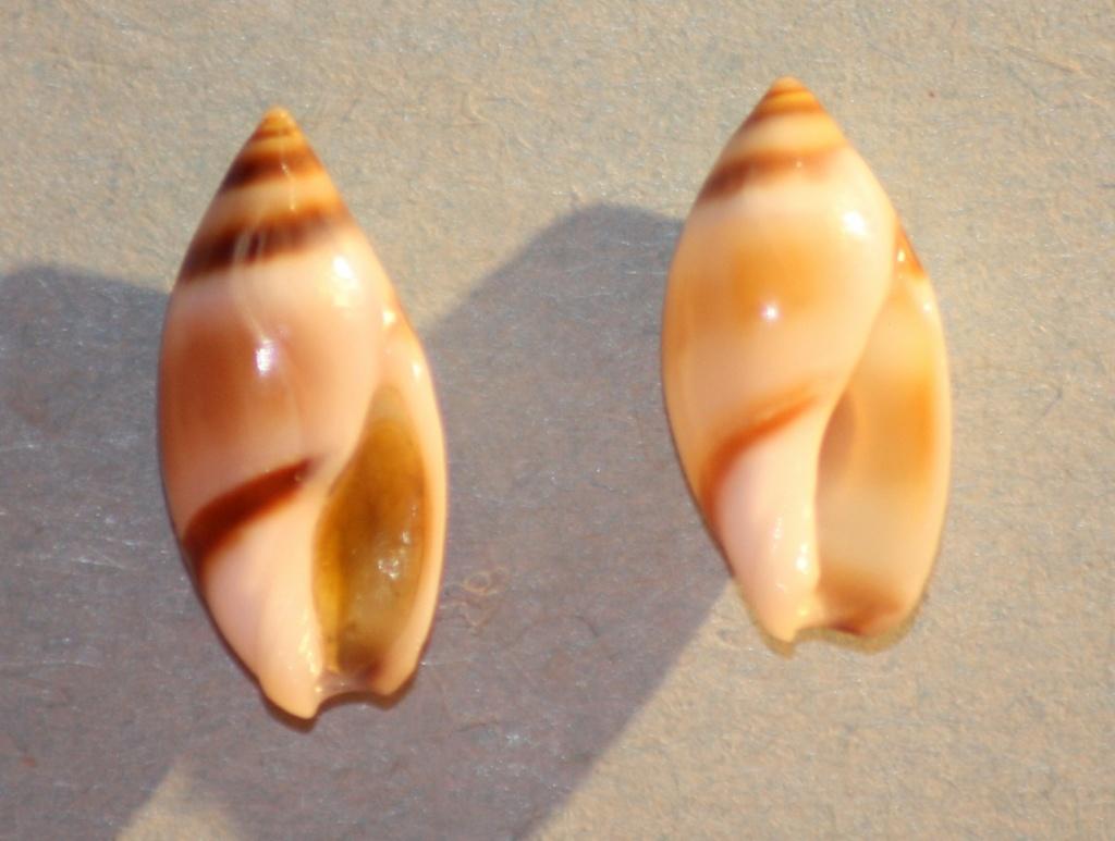 Amalda northlandica (Hart,1995) Img_0820
