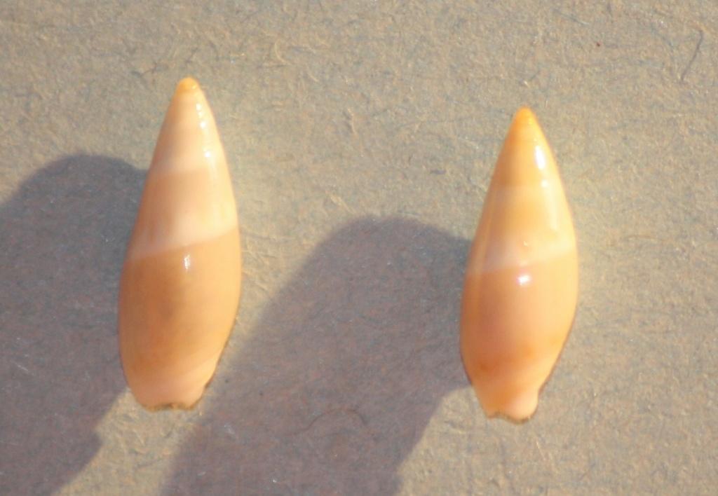 Amalda (Gracilispira) albanyensis Ninomiya, 1987 Img_0823