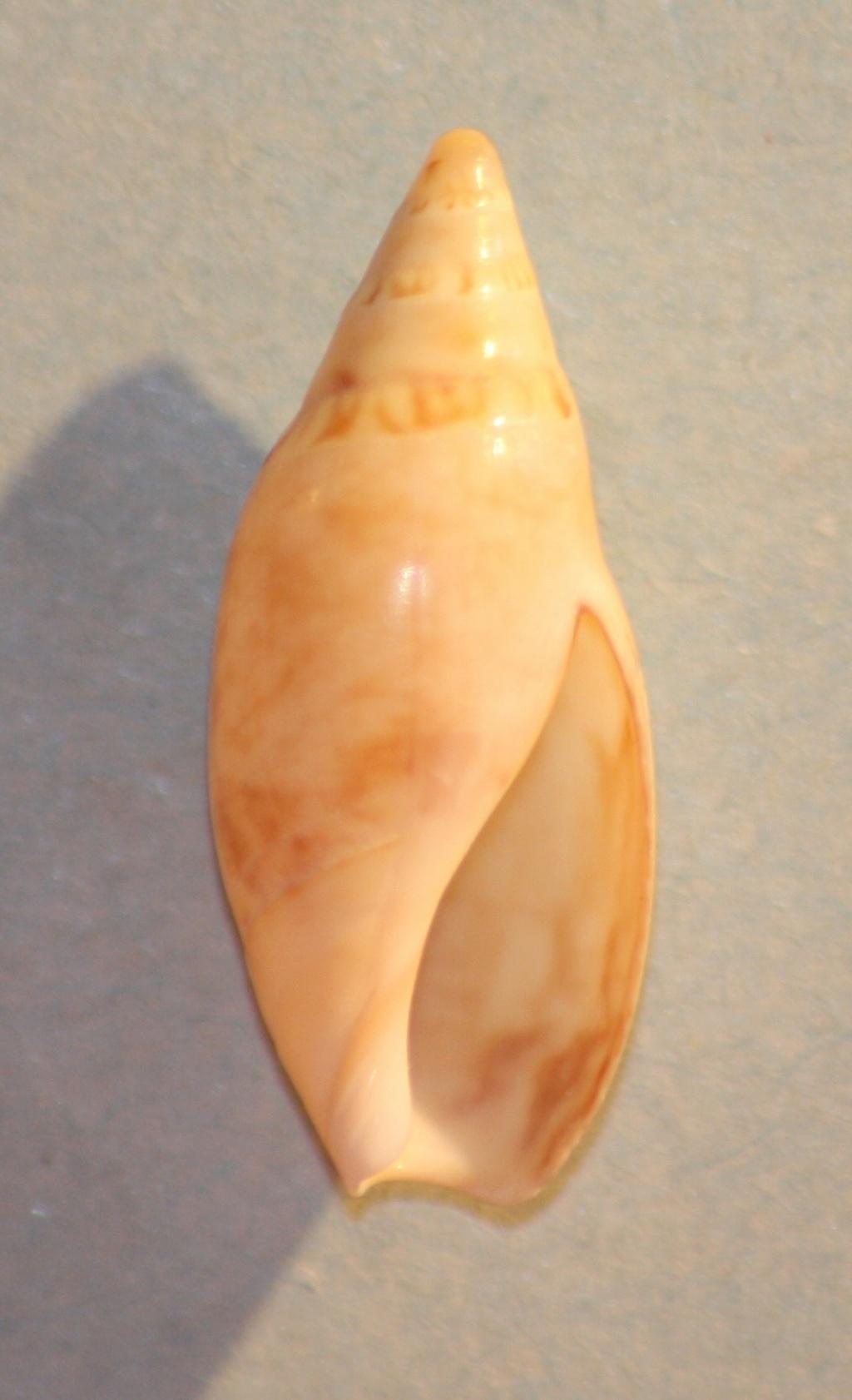 Amalda (Exiquaspira) ornata Ninomiya,1988 Img_0826
