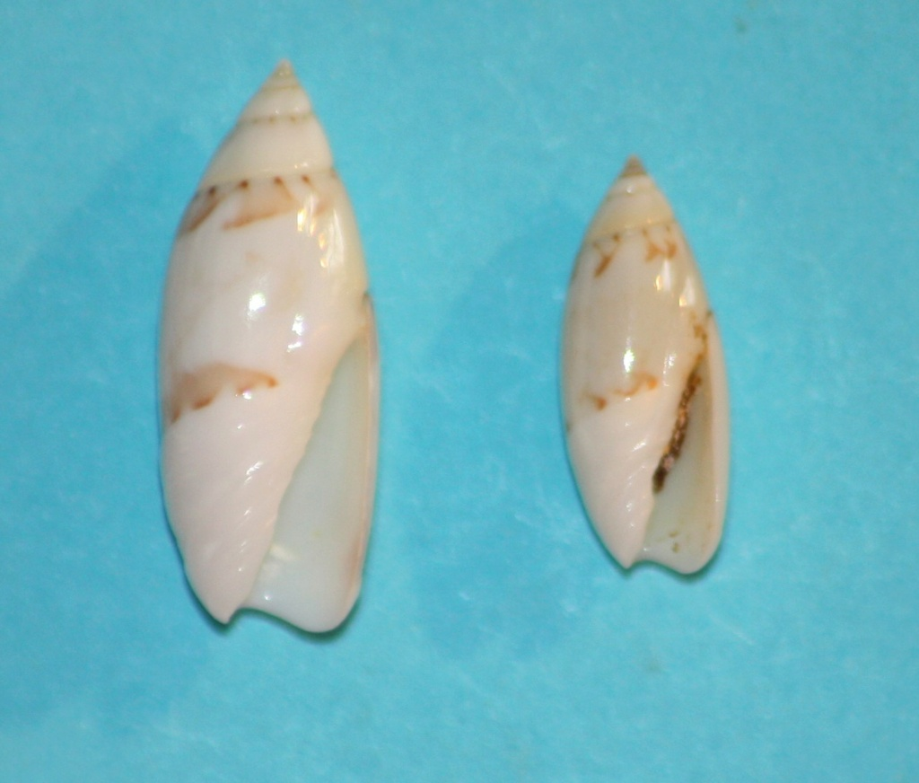 Olivella nivea chiriquiensis - Olsson, 1956 Img_0914