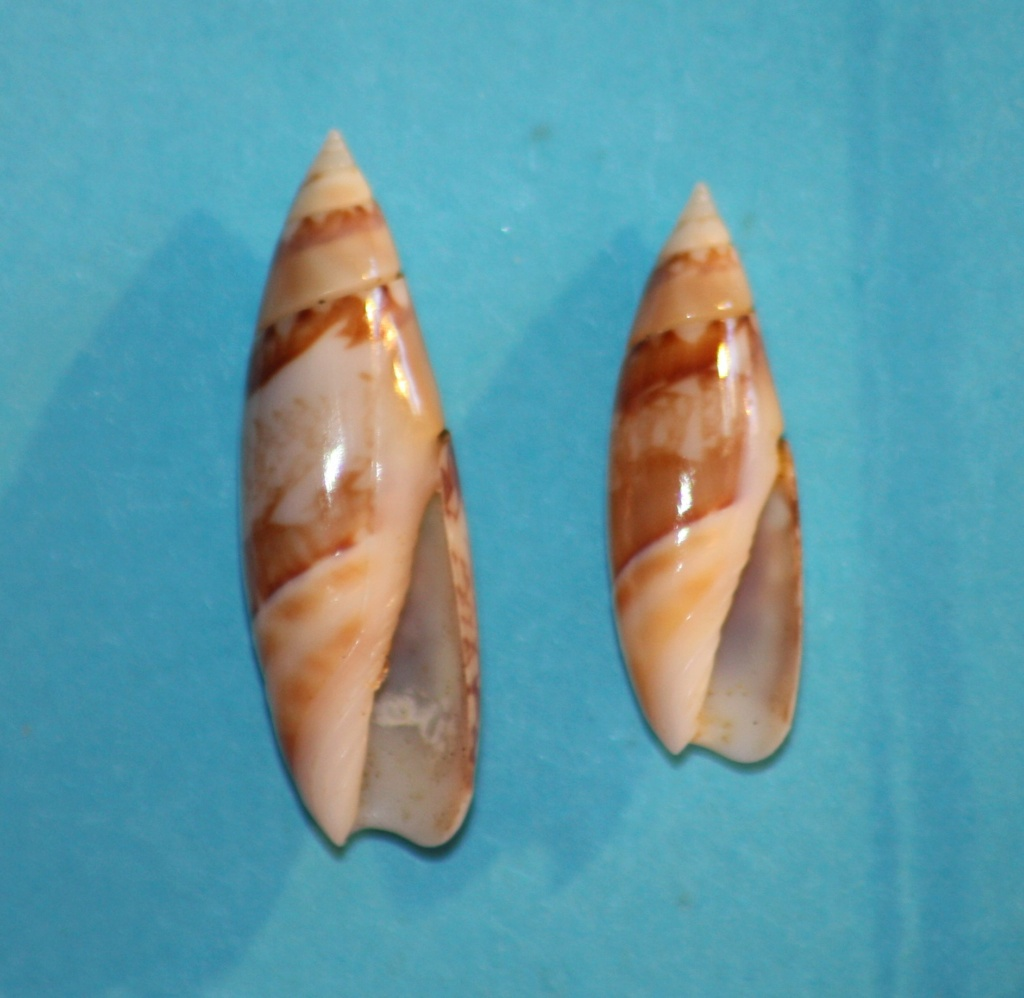 Olivella gracilis - (Broderip & G.B. Sowerby I, 1829) Img_1018