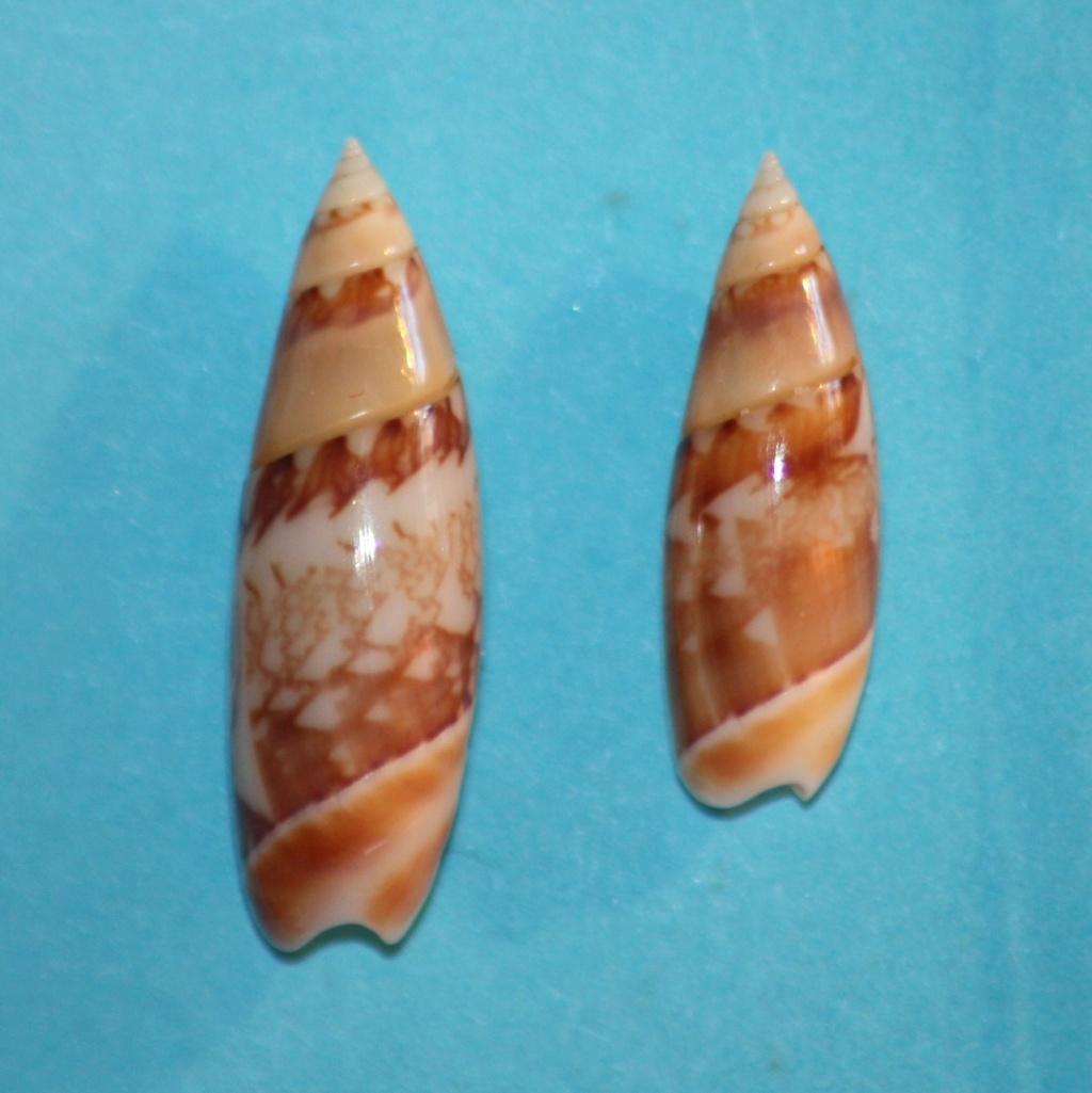 Olivella gracilis - (Broderip & G.B. Sowerby I, 1829) Img_1019
