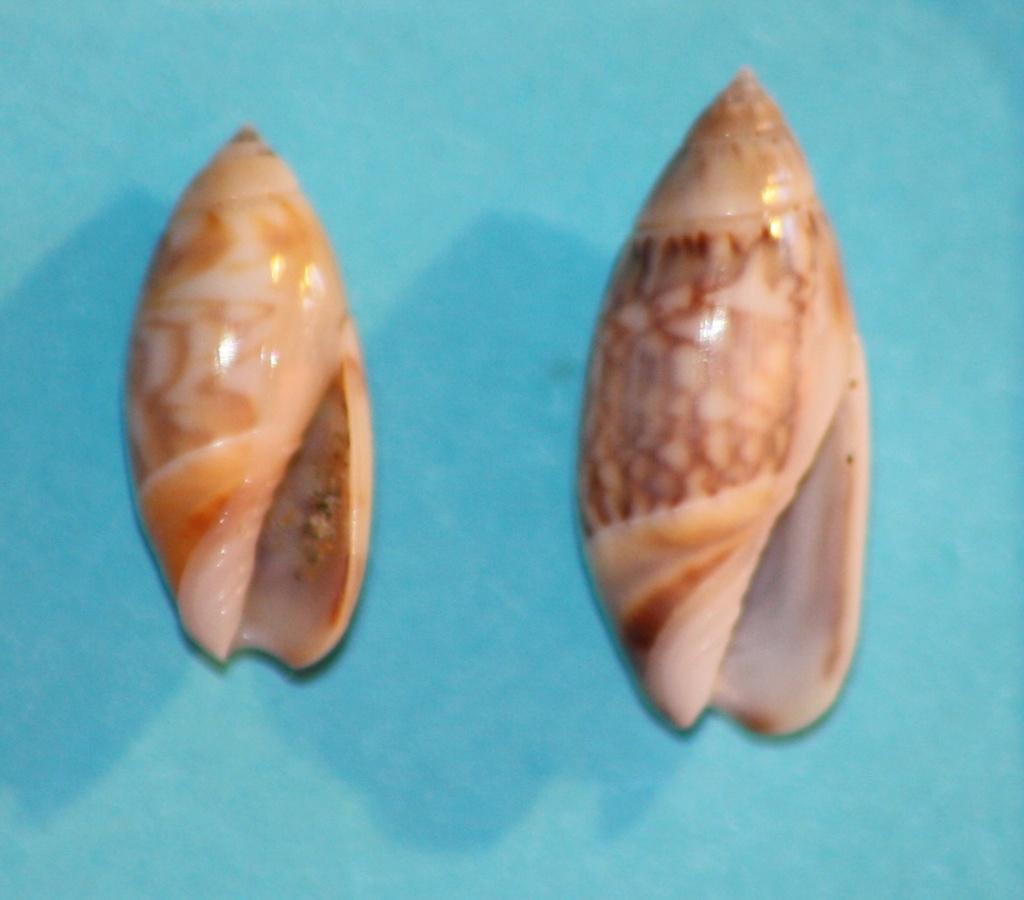 Olivella tergina - (Duclos, 1835) &  Olivella salinasensis - Bartsch,1928 Img_1024