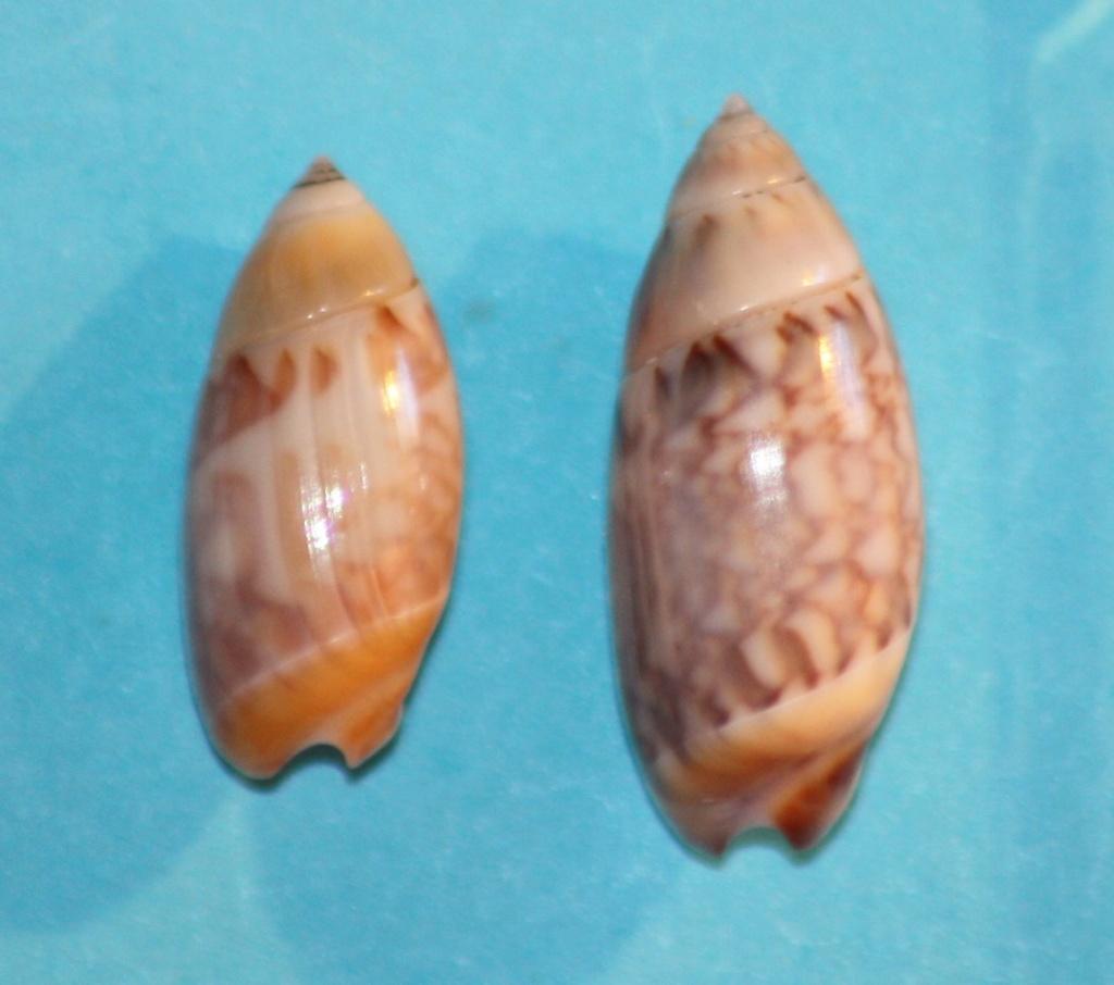 Olivella tergina - (Duclos, 1835) &  Olivella salinasensis - Bartsch,1928 Img_1025