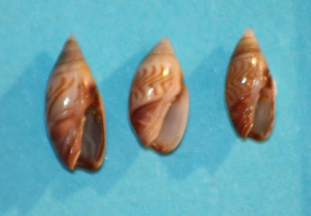 Olivella aureocincta Carpenter, 1857 Img_1028