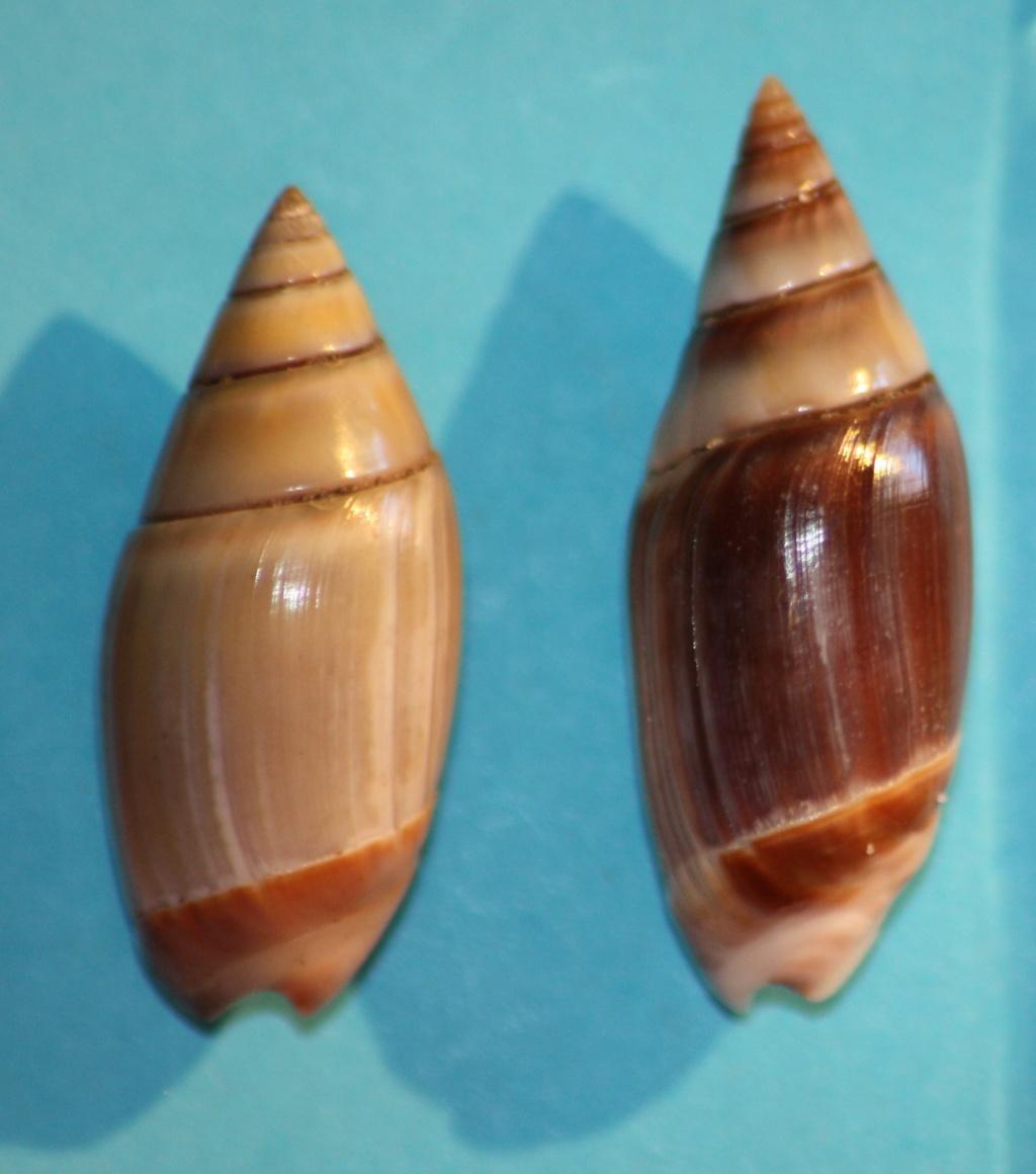 Olivella volutella (Lamarck, 1811) ou Lamprodoma volutella (Lamarck, 1811) - Page 2 Img_1031