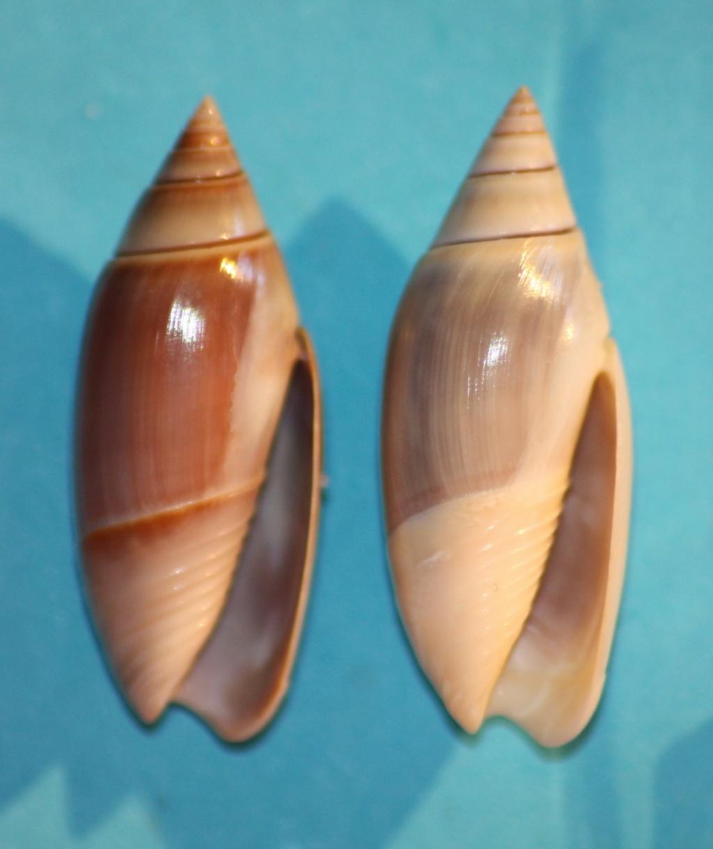 Olivella volutella (Lamarck, 1811) ou Lamprodoma volutella (Lamarck, 1811) - Page 2 Img_1032