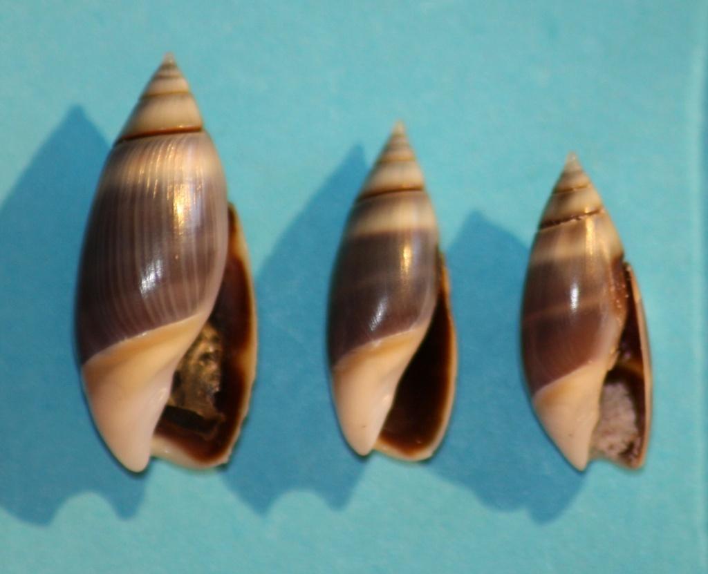 Olivella semistriata - (Gray, 1839) Img_1034