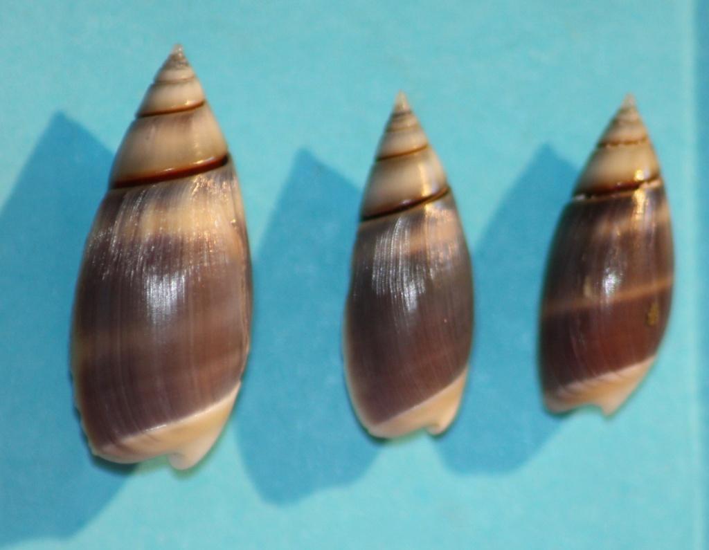 Olivella semistriata - (Gray, 1839) Img_1035