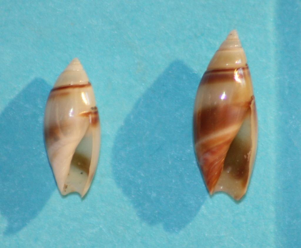 Olivella zanoeta (Duclos, 1835) ou Zanoetella zanoeta (Duclos, 1835) Img_1038