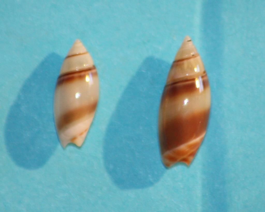 Olivella zanoeta (Duclos, 1835) ou Zanoetella zanoeta (Duclos, 1835) Img_1039
