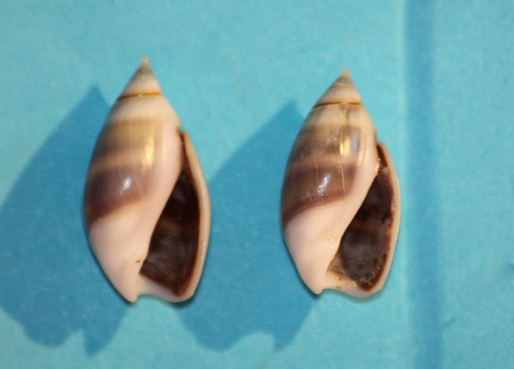 Olivella columellaris (GB Sowerby I, 1825) ou  Pachyoliva columellaris (GB Sowerby I, 1825 Img_1110