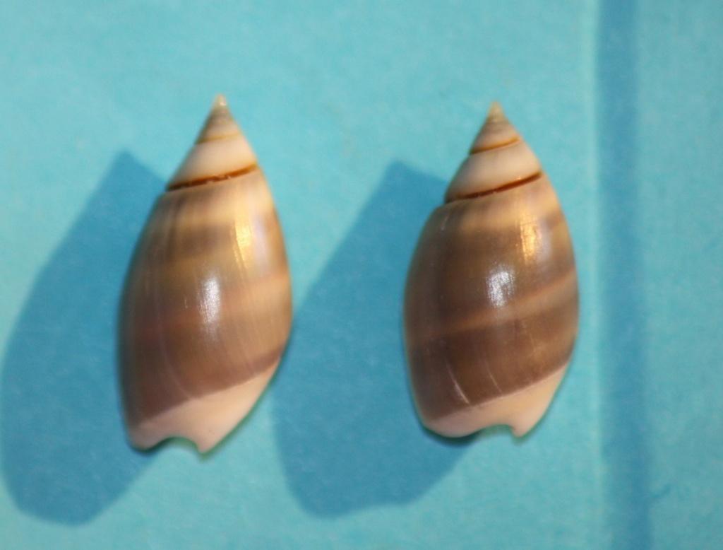 Olivella columellaris (GB Sowerby I, 1825) ou  Pachyoliva columellaris (GB Sowerby I, 1825 Img_1111