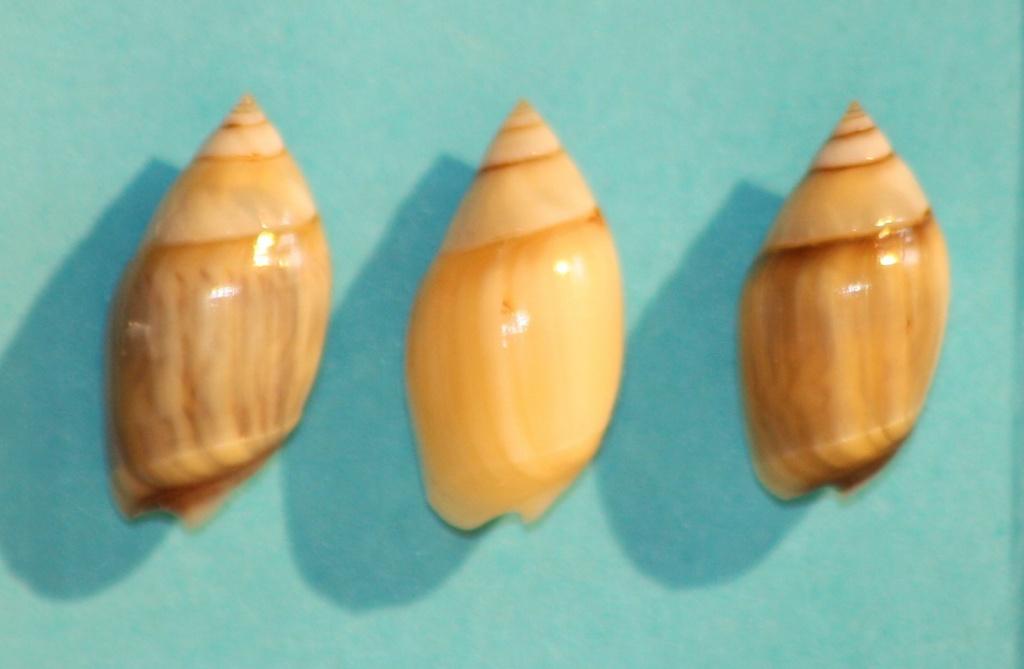 Olivella minuta - (Link, 1807) Img_1119