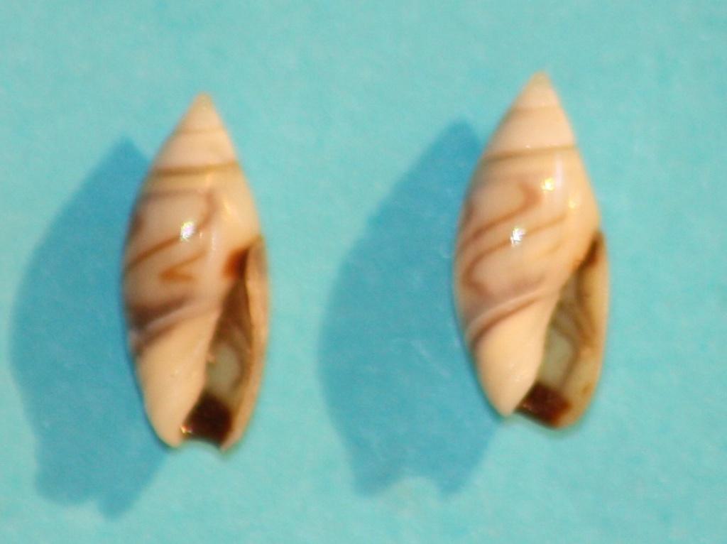 Olivella minuta - (Link, 1807) Img_1120