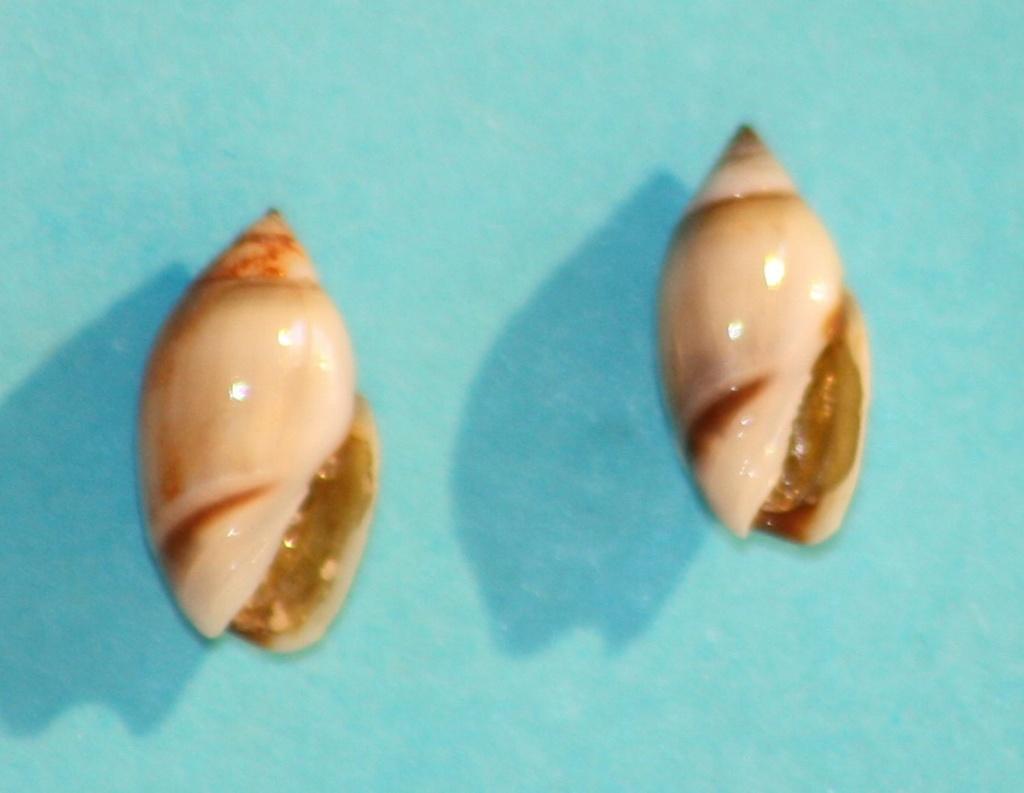 Olivella minuta - (Link, 1807) Img_1211
