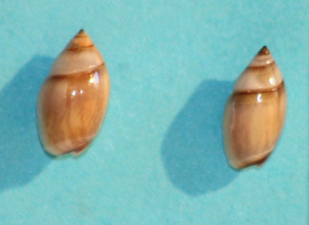 Olivella minuta - (Link, 1807) Img_1212