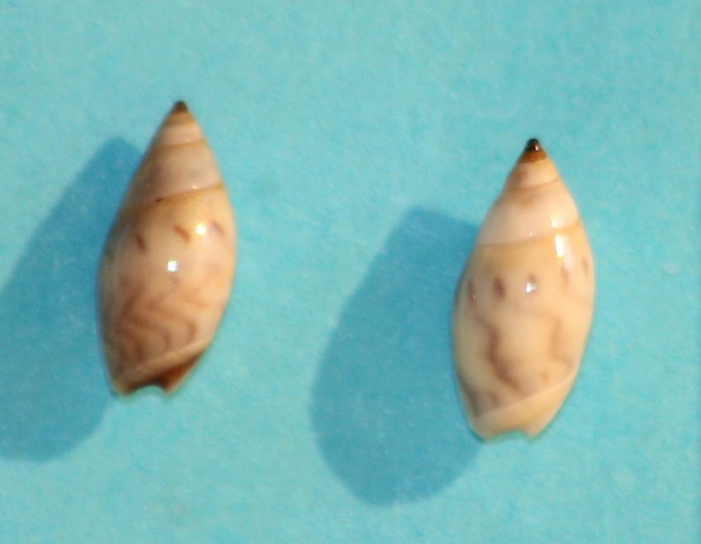 Olivella minuta - (Link, 1807) Img_1214
