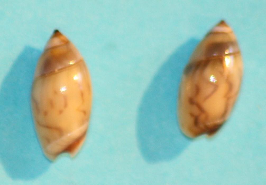 Olivella minuta - (Link, 1807) Img_1216