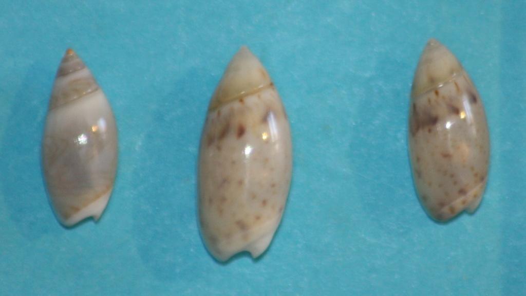 Olivella pedroana - (Conrad, 1856) Img_1313