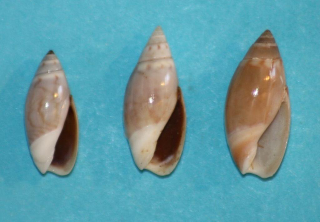 Olivella pedroana - (Conrad, 1856) Img_1314