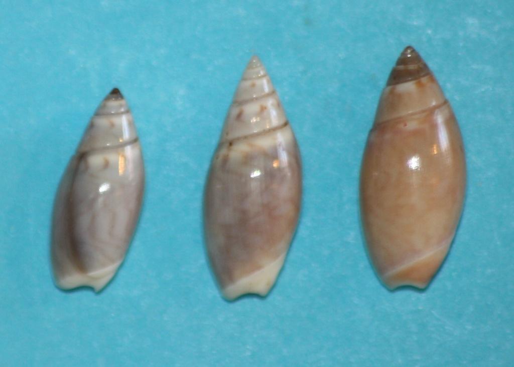 Olivella pedroana - (Conrad, 1856) Img_1315