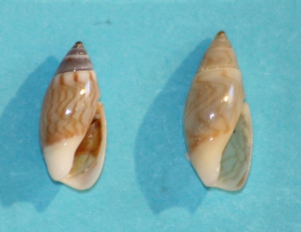 Olivella borealis (Golikov, in Golikov & Scarlato, 1967) ou Callianax borealis (Golikov, in Golikov & Scarlato, 1967) Img_1320