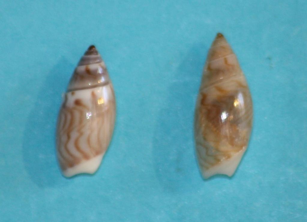 Olivella borealis (Golikov, in Golikov & Scarlato, 1967) ou Callianax borealis (Golikov, in Golikov & Scarlato, 1967) Img_1321