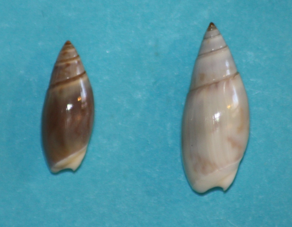 Olivella baetica Carpenter, 1864  ou Callianax baetica (Marrat, 1871)  Img_1323