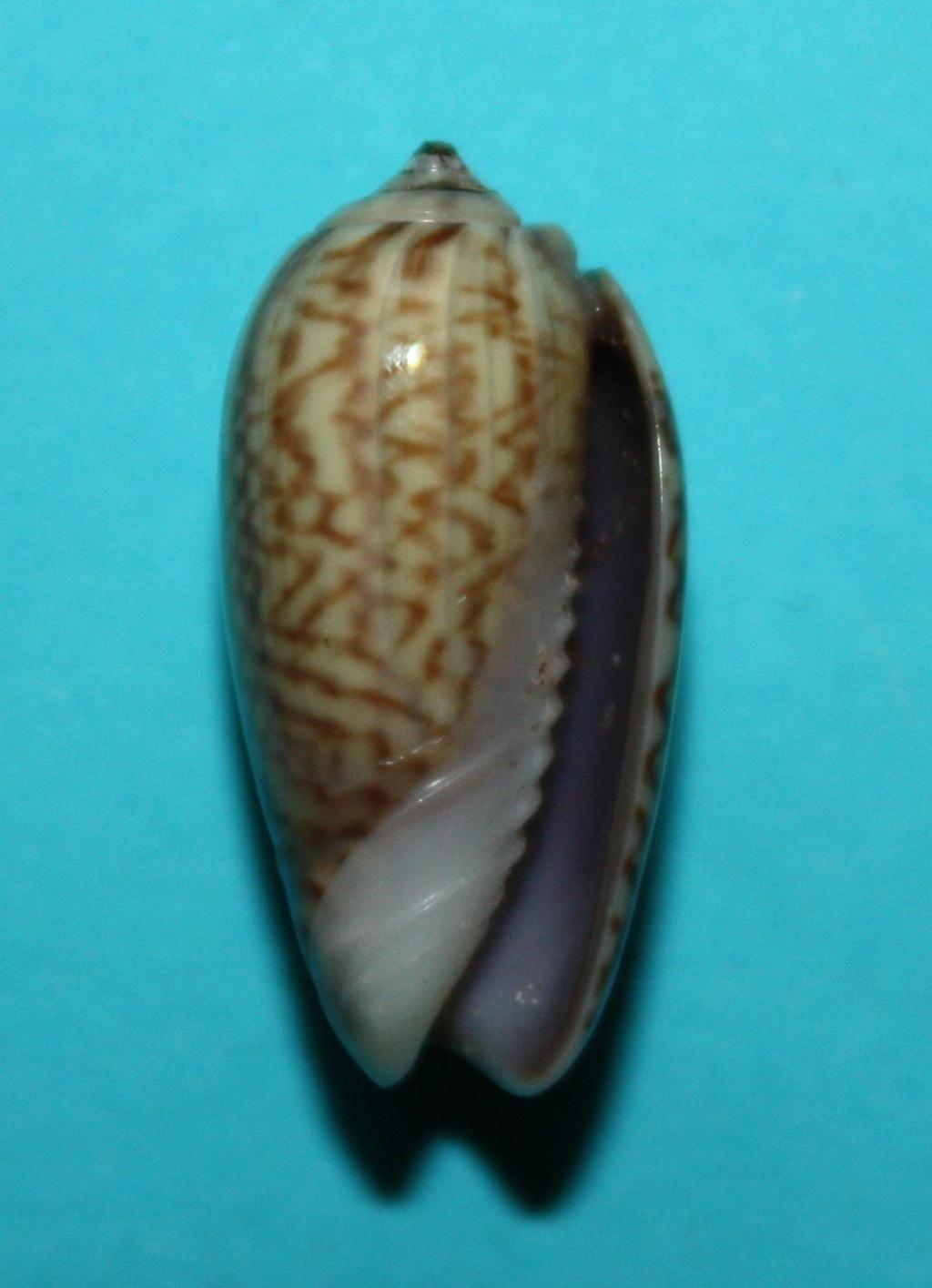 Oliva mucronalis Petuch & Sargent, 1986 Img_1814