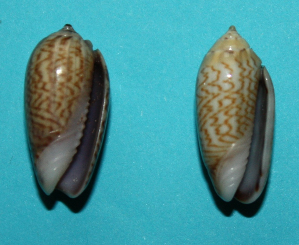 Oliva mucronalis Petuch & Sargent, 1986 Img_1817